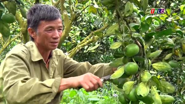 Trồng quýt chín sớm mang lại hiệu quả kinh tế cao cho nông dân Mường Khương.