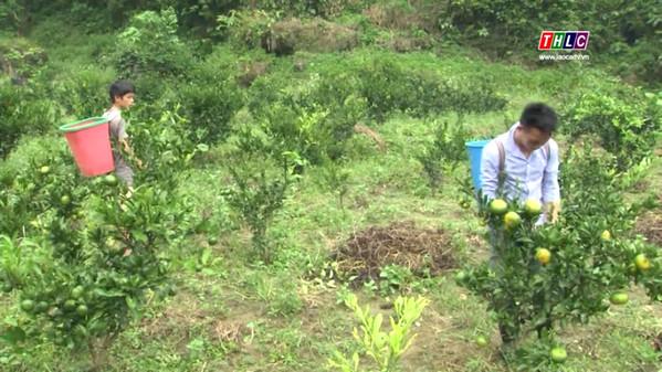 Hiện, toàn huyện Mường Khương có gần 500 ha diện tích quýt.