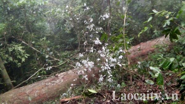 Cây gỗ nghiến bị chặt hạ có tuổi đời lên tới 100 năm. (Ảnh: Trung Dũng)